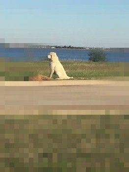 Owner Of Faithful Great Pyrenees Who Stood Guard Over Friend Has