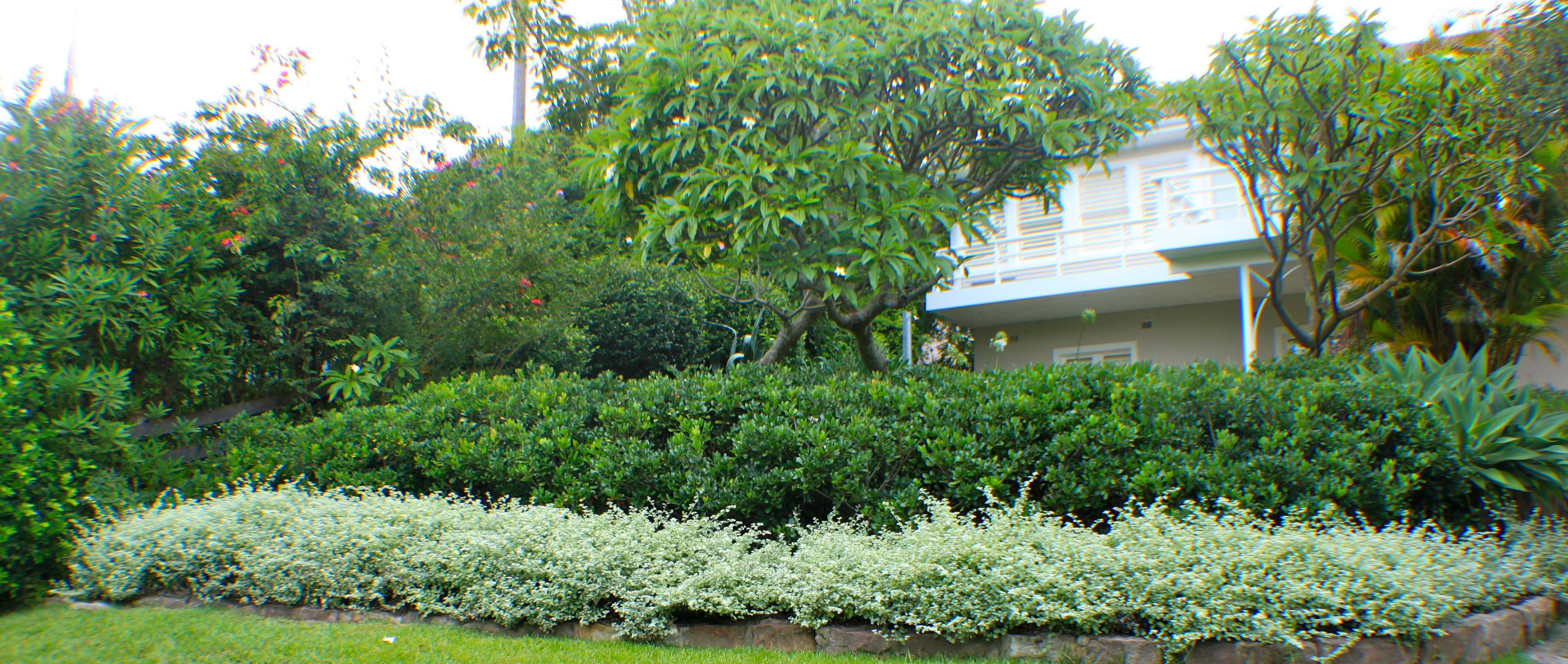 Helichrysum petiolare- Palm Beach Sydney Australia