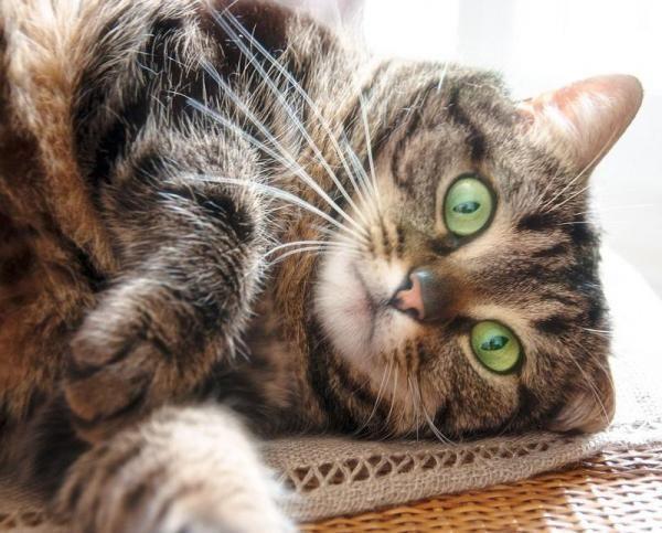 Como saber se o meu gato tem toxoplasmose