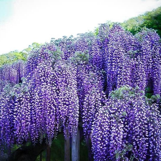 Blue Moon Wisteria Wisteria Tree Purple Plants Landscape Nursery