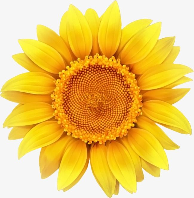 More Than 3 Million Png And Graphics Resource At Pngtree Find The Best Inspiration You Need For Your Projec Sunflower Png Sunflower Clipart Sunflower Pictures