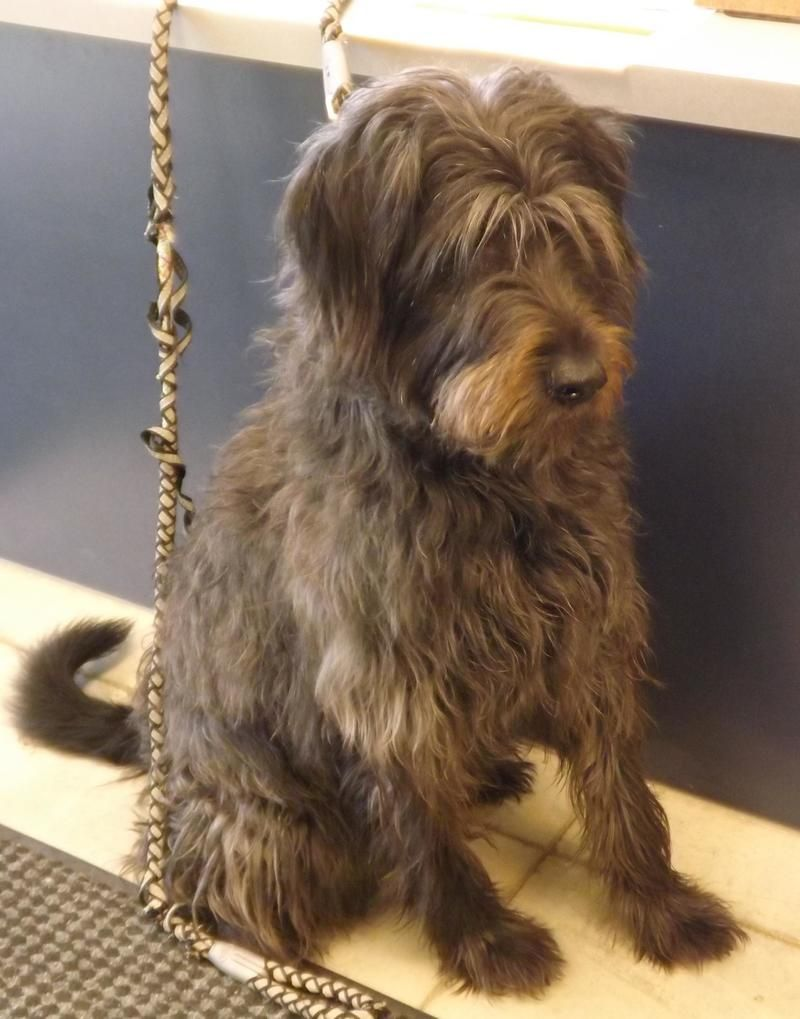 Adopt Dory On Scruffy Dogs Poodle Mix Dogs Dog Love
