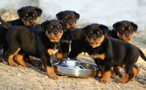 Largest Dog Breed Dorothy Wade Rottweiler Breeder With An Eye