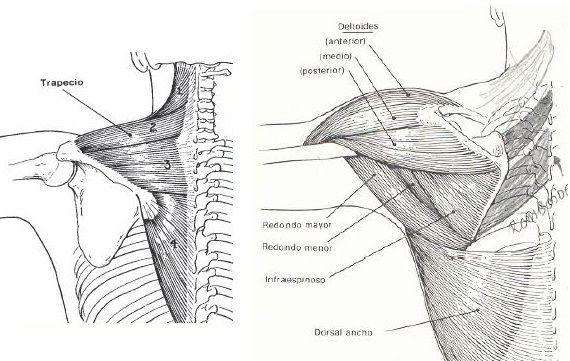 Abducción Hombro Músculos | Cuerpo Humano - TAFAD | Pinterest