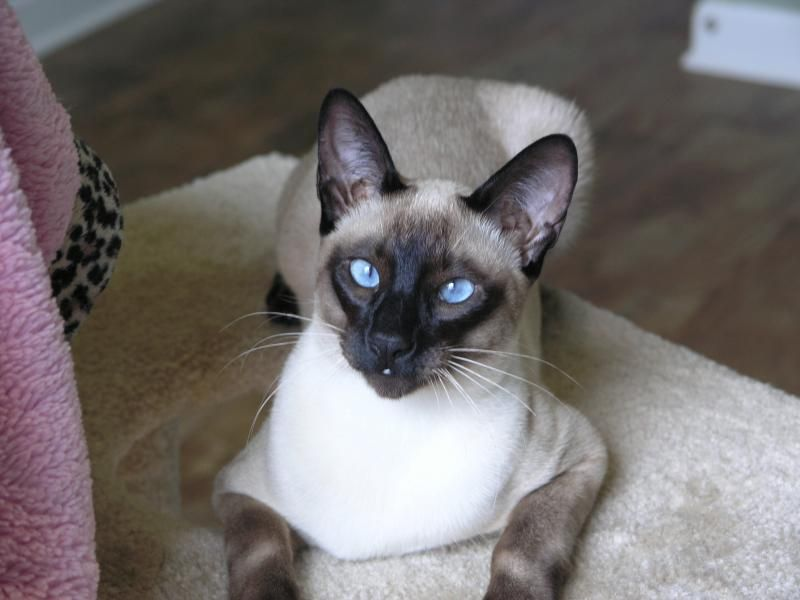 Siamese Kittens For Sale In Nc