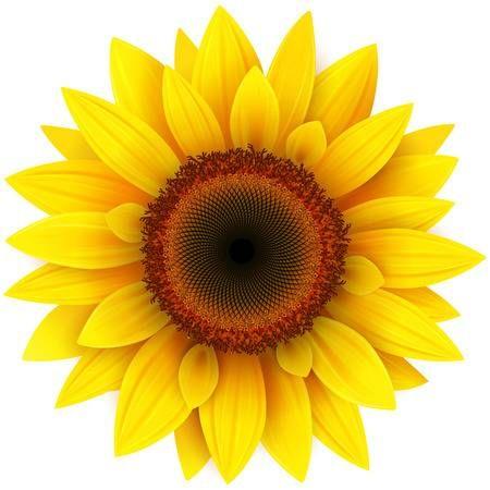Sunflower Realistic Vector Illustration Sunflower Wall Art Sunflower Art Free Clip Art