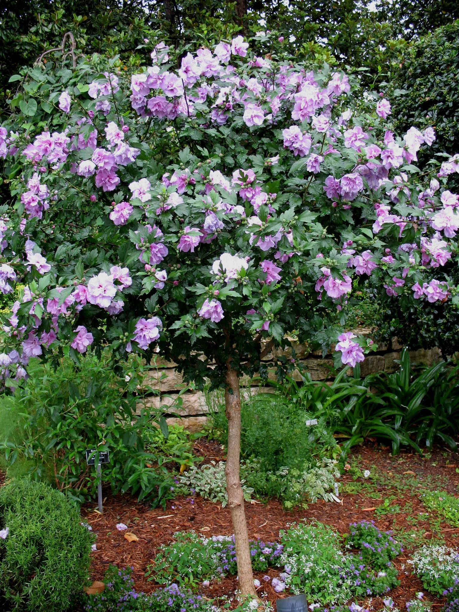 Hibiscus syriacus \'Ardens Purple\' / Ardens Purple Althaea ...