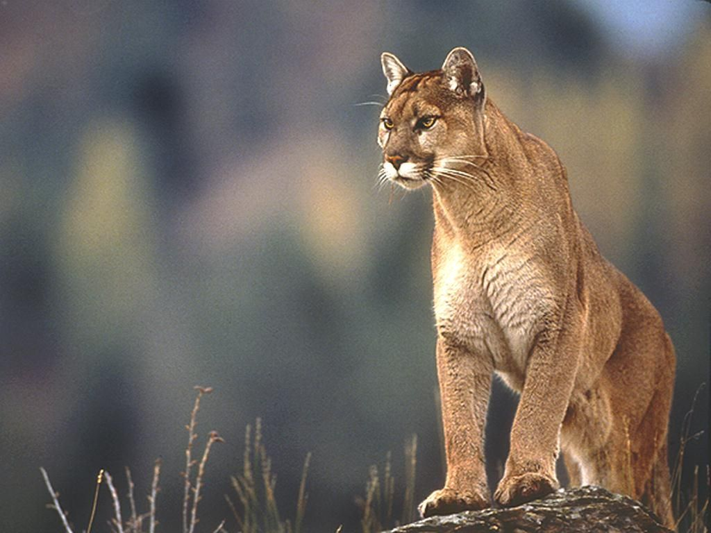 Cougar images free