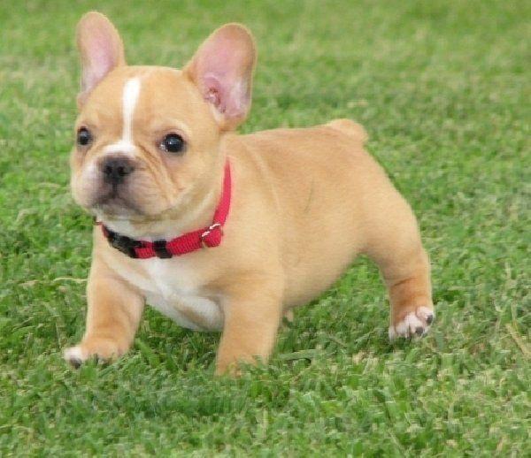 Mini French Bulldog Puppies Cute French Bulldog Puppies For Sale