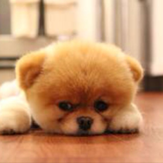 Cute Baby Chow Chow Pup Boo The Dog Boo The Cutest Dog Cutest