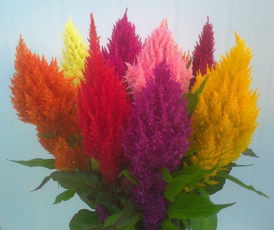 Growing Info For Celosia Celosia Plant Container Gardening Flowers Flowers