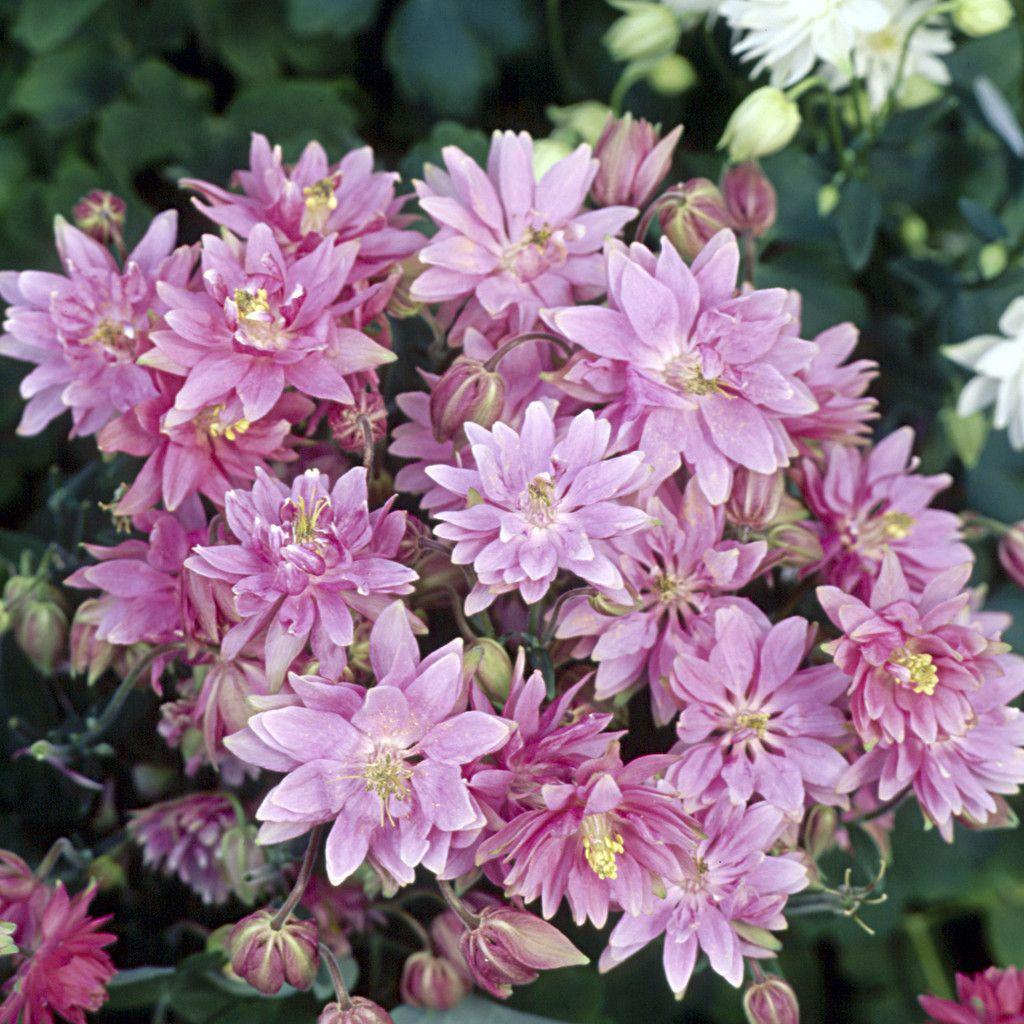 Aquilegia seeds clementine rose bulk perennial seeds