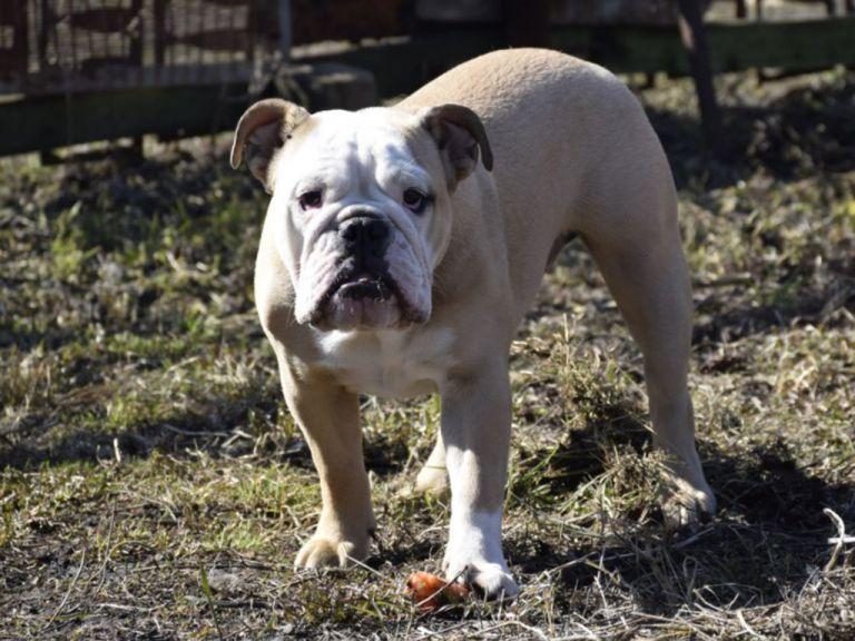 Medea English Bulldog Puppy For Sale English Bulldog Puppies