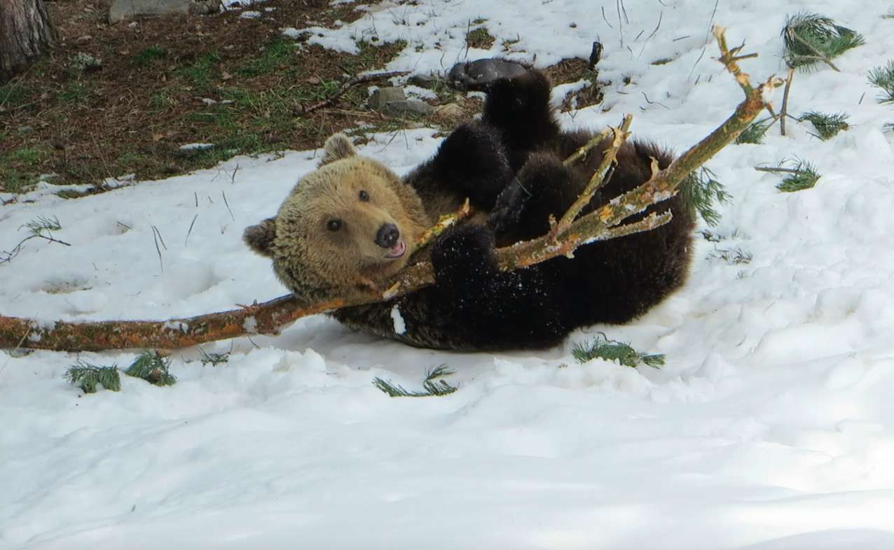 Rescue Bear Skips Hibernating So He Can Play With This Log Bear Pet Birds Save Wildlife