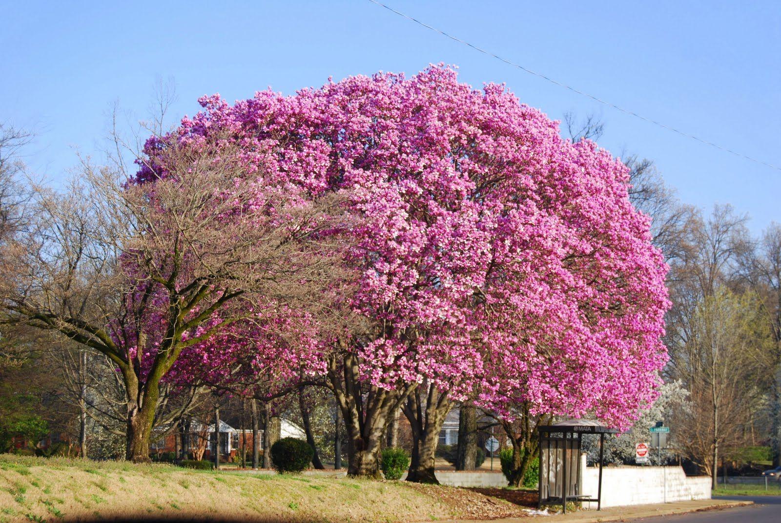 Large Magnolia Tree Magnolia Trees Garden In The Woods Tulip Magnolia