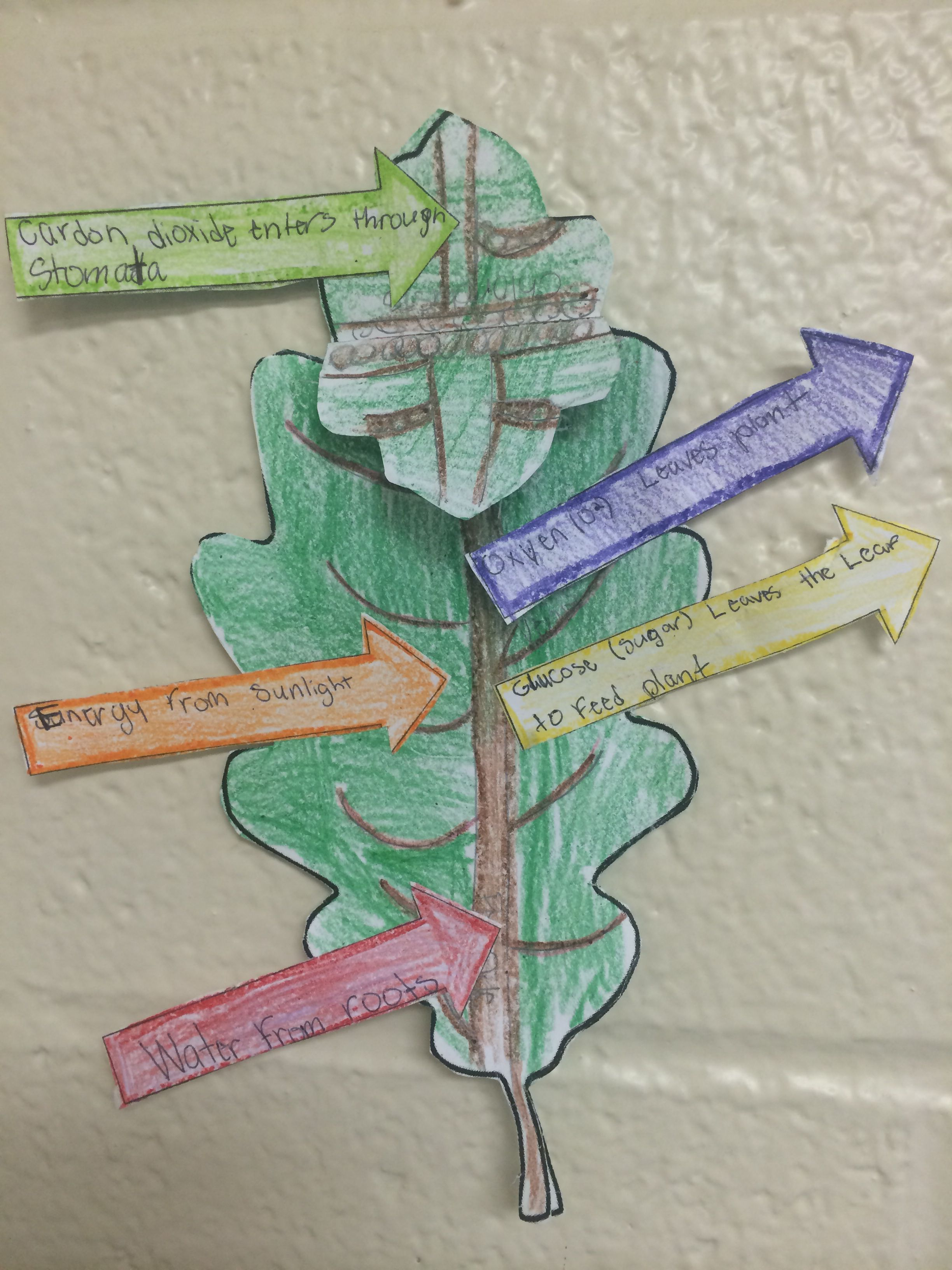 Photosynthesis Leaves Craft Project For 6th Grade Plant