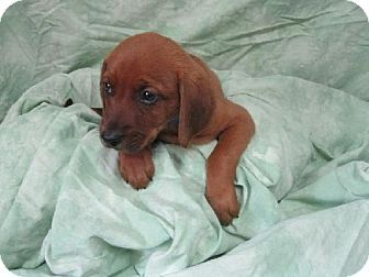 Urgent Baby Reebok Atrural Kill Shelter This Shelter Needs Help Only 2 People On Staff Very Few Volunteers Almost No Fu Redbone Coonhound Puppy Adoption Pets