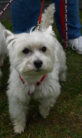 This is Abigail, one of Westie Rescue of Michigan's current