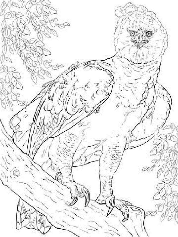 harpy eagles coloring pages in   witch coloring pages