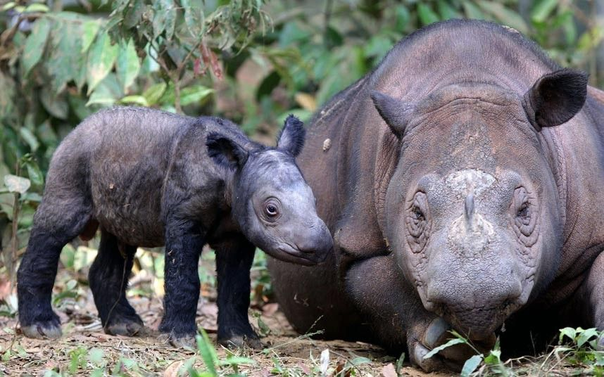 Ratu, a highly endangered Sumatran rhinoceros, has given birth.  It is only the fifth known birth in captivity for the species in 123 years.