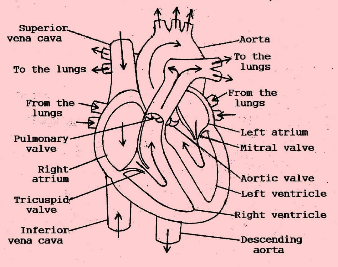 small resolution of blood flows through the heart