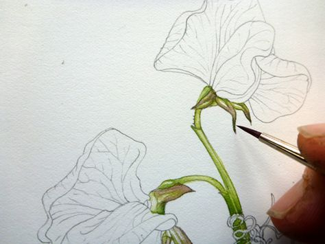 Step By Step Painting A Sweet Pea Watercolor Flowers Tutorial