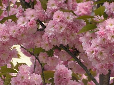 Flowering Tree Identification Flowering Cherries Are Highly