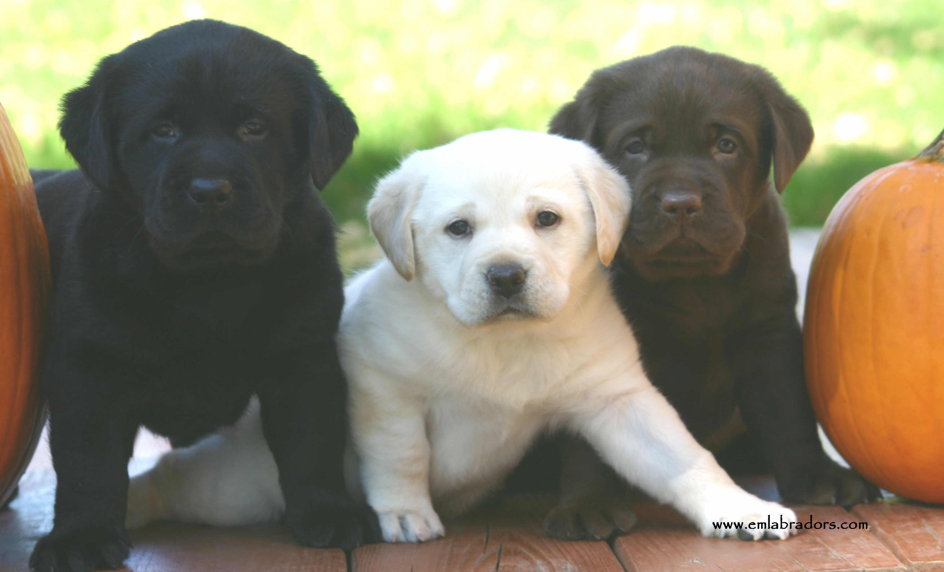 A lesson in lab coat color inheritance Labrador