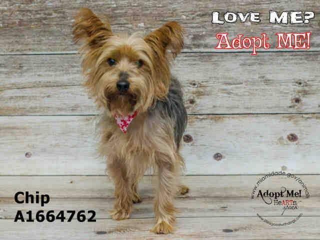 SAFE --- CHIP (A1664762) I am a male gold and gray Yorkshire Terrier mix.  The shelter staff think I am about 2 years old.  I was found as a stray and I may be available for adoption on 12/16/2014. — hier: Miami Dade County Animal Services. https://www.facebook.com/urgentdogsofmiami/photos/pb.191859757515102.-2207520000.1418168457./886030978097973/?type=3&theater