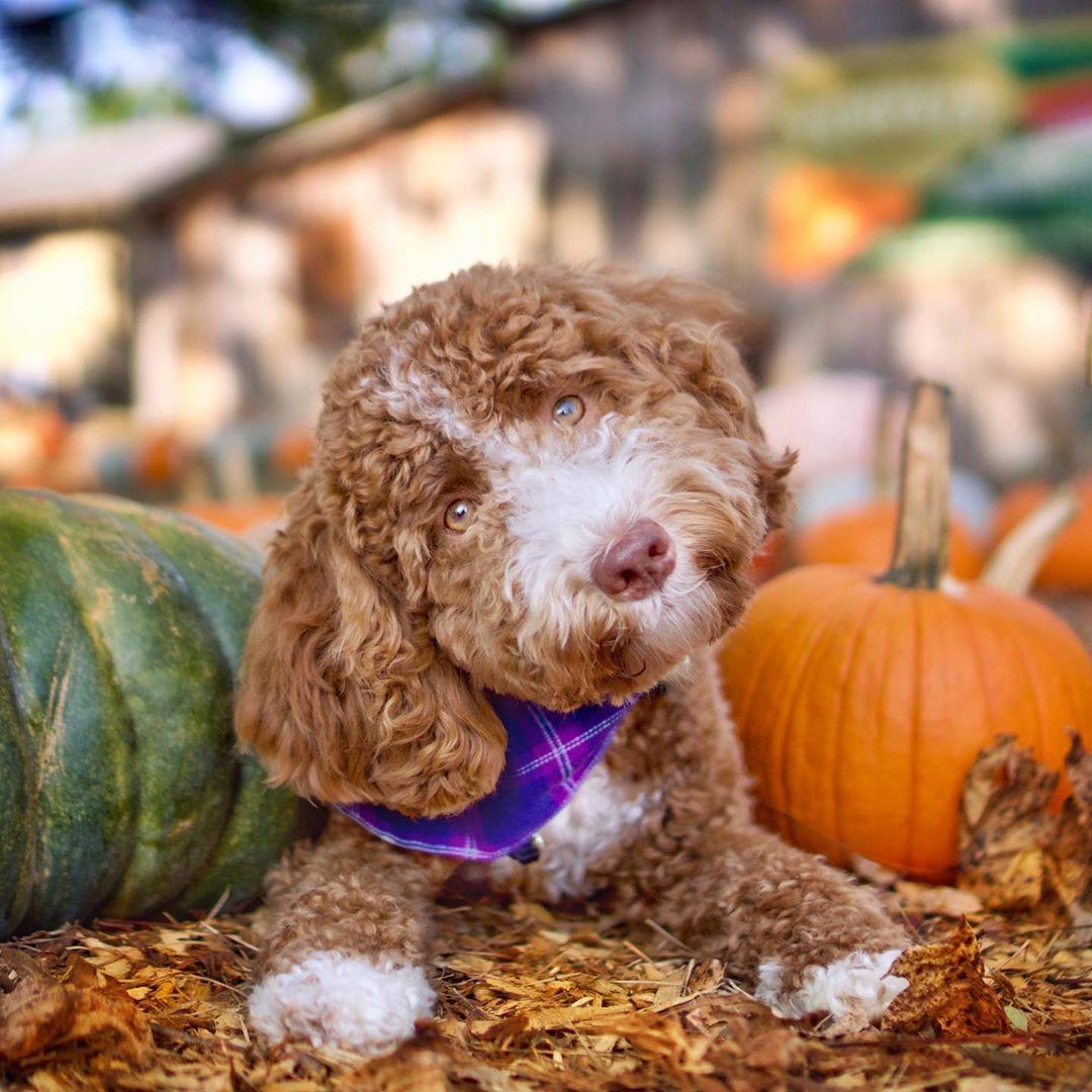 Indythegoldendoodle On Instagram And Facebook Dogs Goldendoodle Puppies Cutedogs Indythegoldendoodle Dogsofinstagra Goldendoodle Puppy Goldendoodle Cute Dogs
