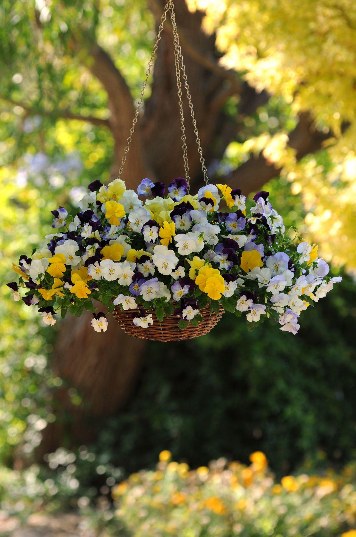 violas brighten a winter garden g a r d e n pinterest