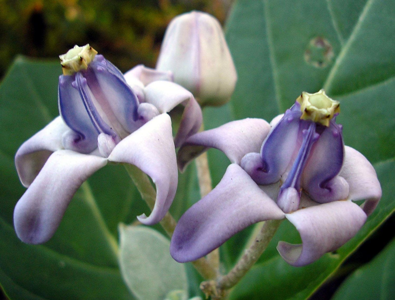 Crown flower or giant milkweed are great additions to any tropical definitely in the rare exotic and unusual category calotropis gigantea crown flower or giant milkweed are great additions to any tropical garden izmirmasajfo Images