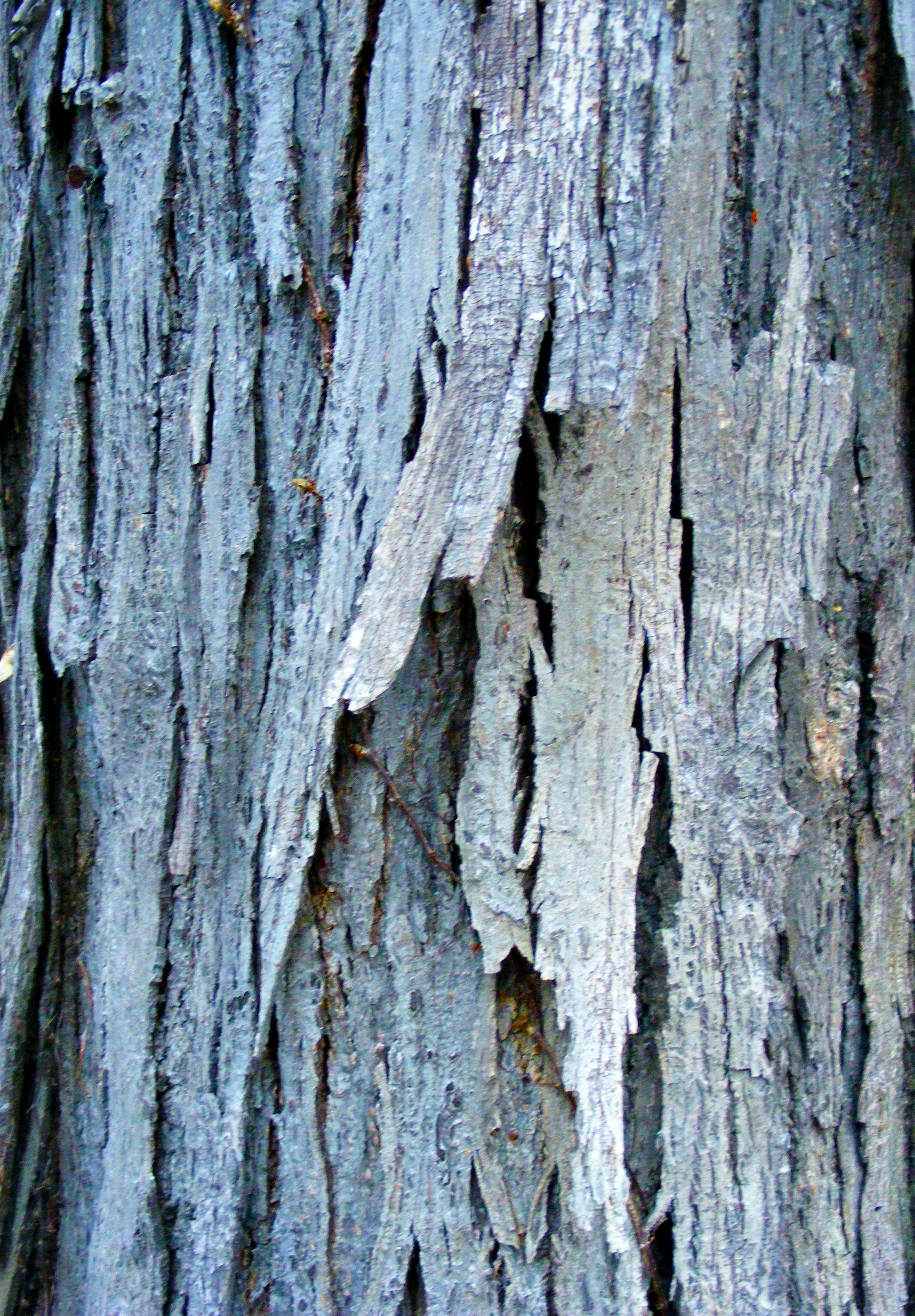 Shag Bark Hickory Tree Bark Tree Id Blue Tree