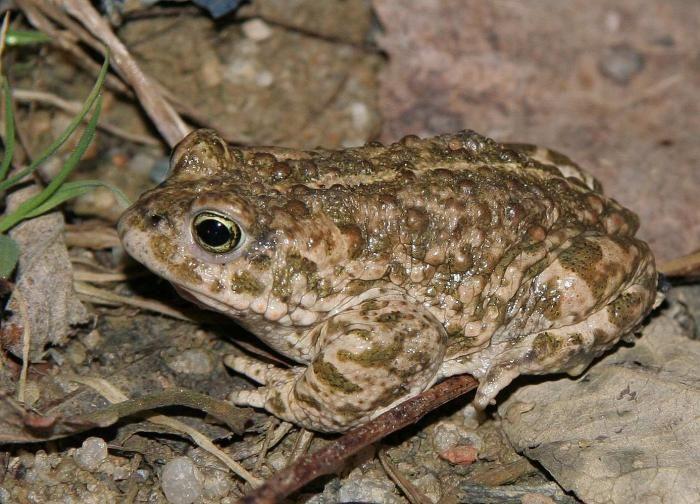 Ropucha Kratkonoha Frosche Amphibien