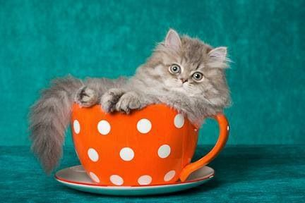 Great British Tea Party Fb Teacup Kitten Teacup Cats Persian Kittens