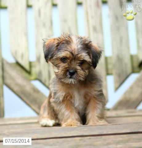 Shorkie Puppy for Sale in Pennsylvania