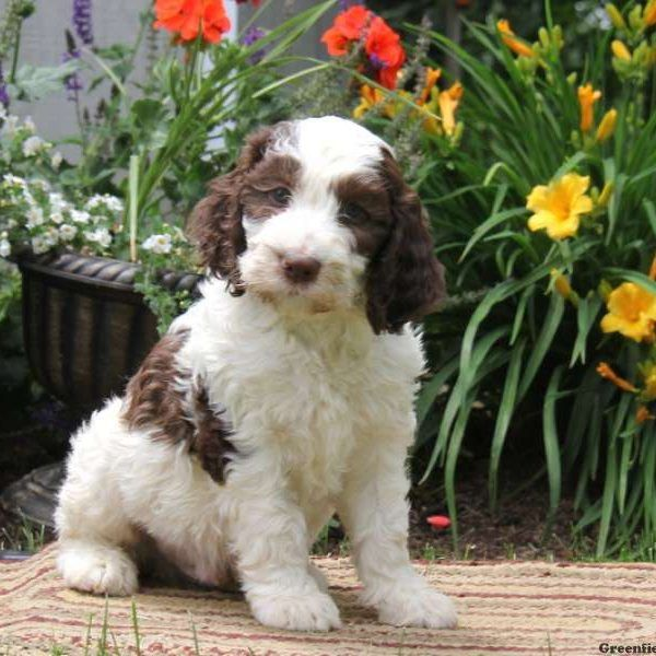 Blake Springerdoodle Puppy For Sale In Pennsylvania Springerdoodle Super Cute Animals Dog Love