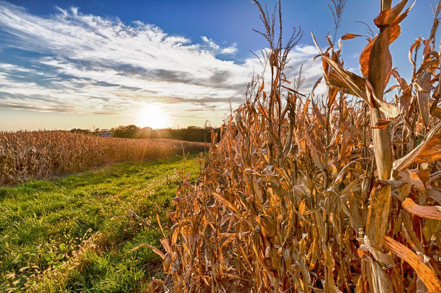 Cornfield At Sunset Near Omaha Nebraska Love Harvest