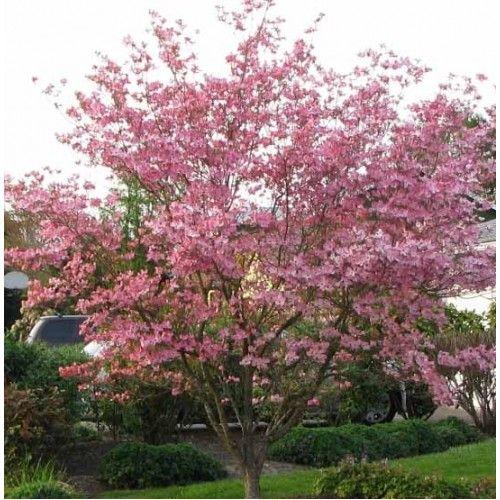 Stellar Pink Dogwood Pink Dogwood Tree Dogwood Trees Pink Dogwood