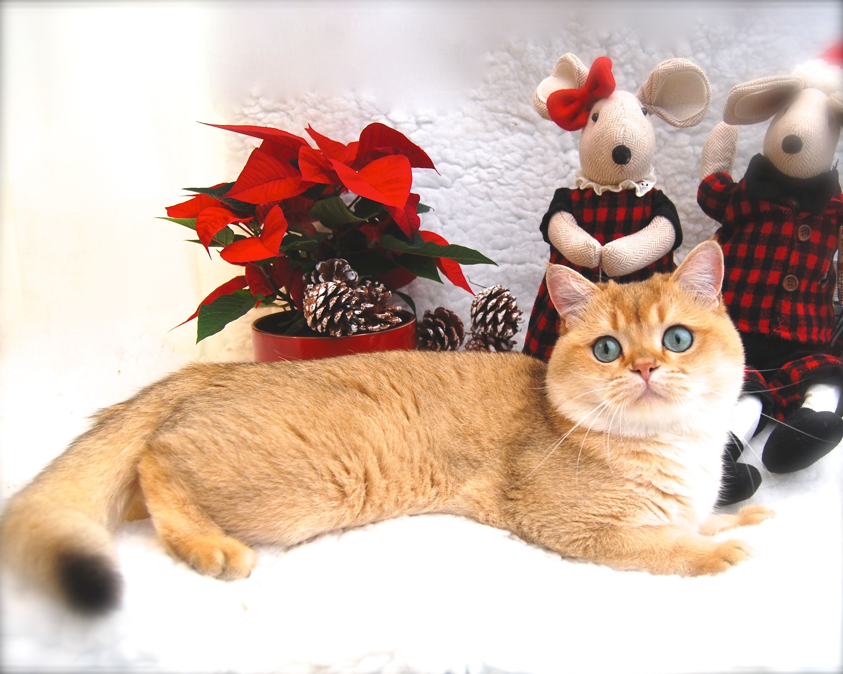 Union Our Black Golden Shaded Ny11 British Shorthair Seasons Greetings British Shorthair British Shorthair Cats Crazy Cats