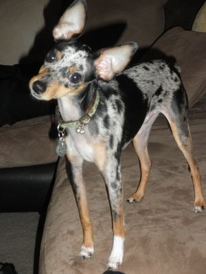 Miniature Pinscher Do They Even Come In This Color I Ve