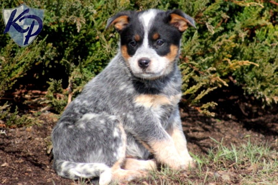 Puppy Finder Find Buy A Dog Today By Using Our Petfinder Puppies Australian Cattle Dog Puppy Heeler Puppies