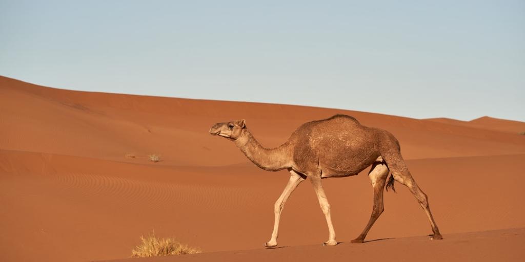 Dromedario En El Desiero Camello Animales Imagenes Bonitas