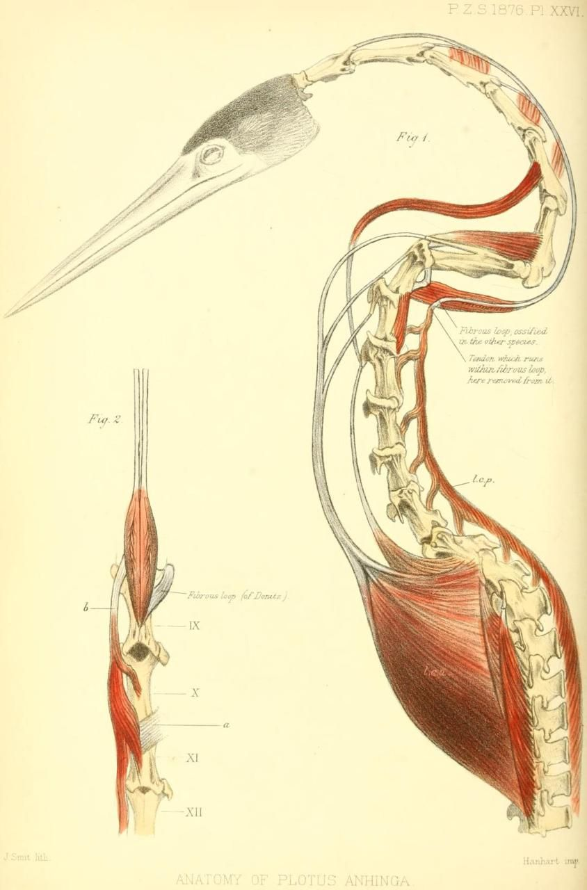 Anatomy of Plotus anhinga (n.d. - now Anhinga anhinga) The Anhinga ...