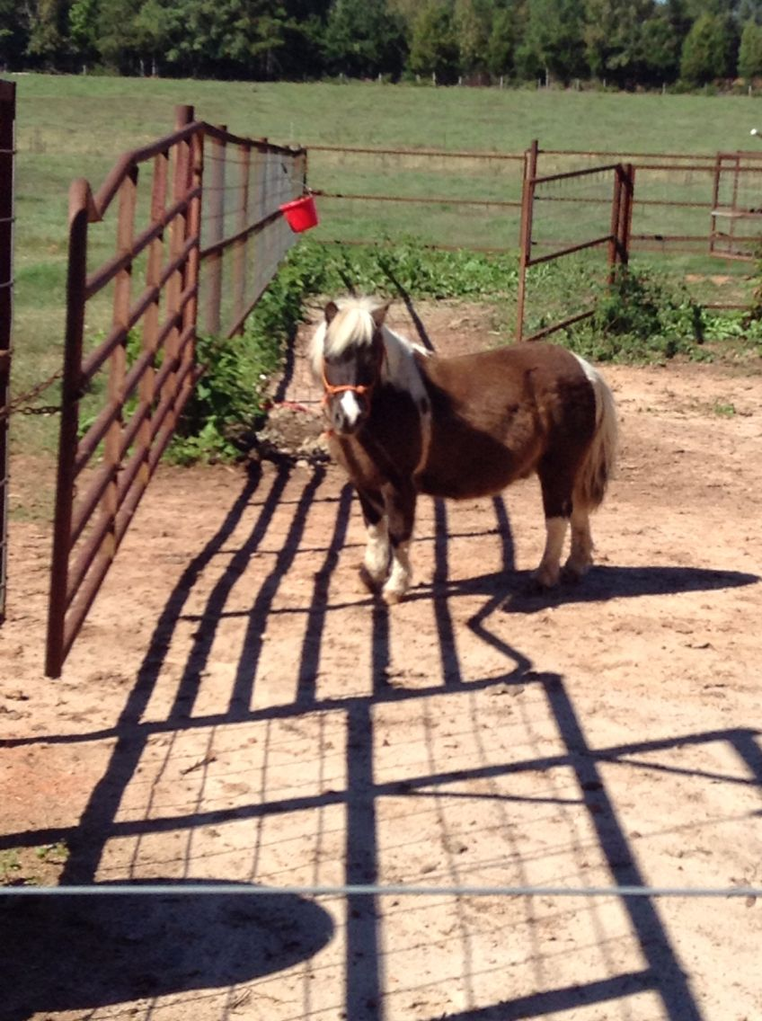 My sister's miniature horse