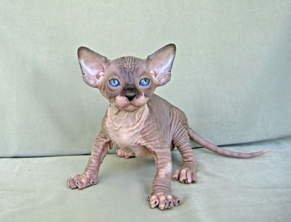 Gallery Talialida Sphynx Cattery Hairless Cat Beautiful Cats Sphinx Cat
