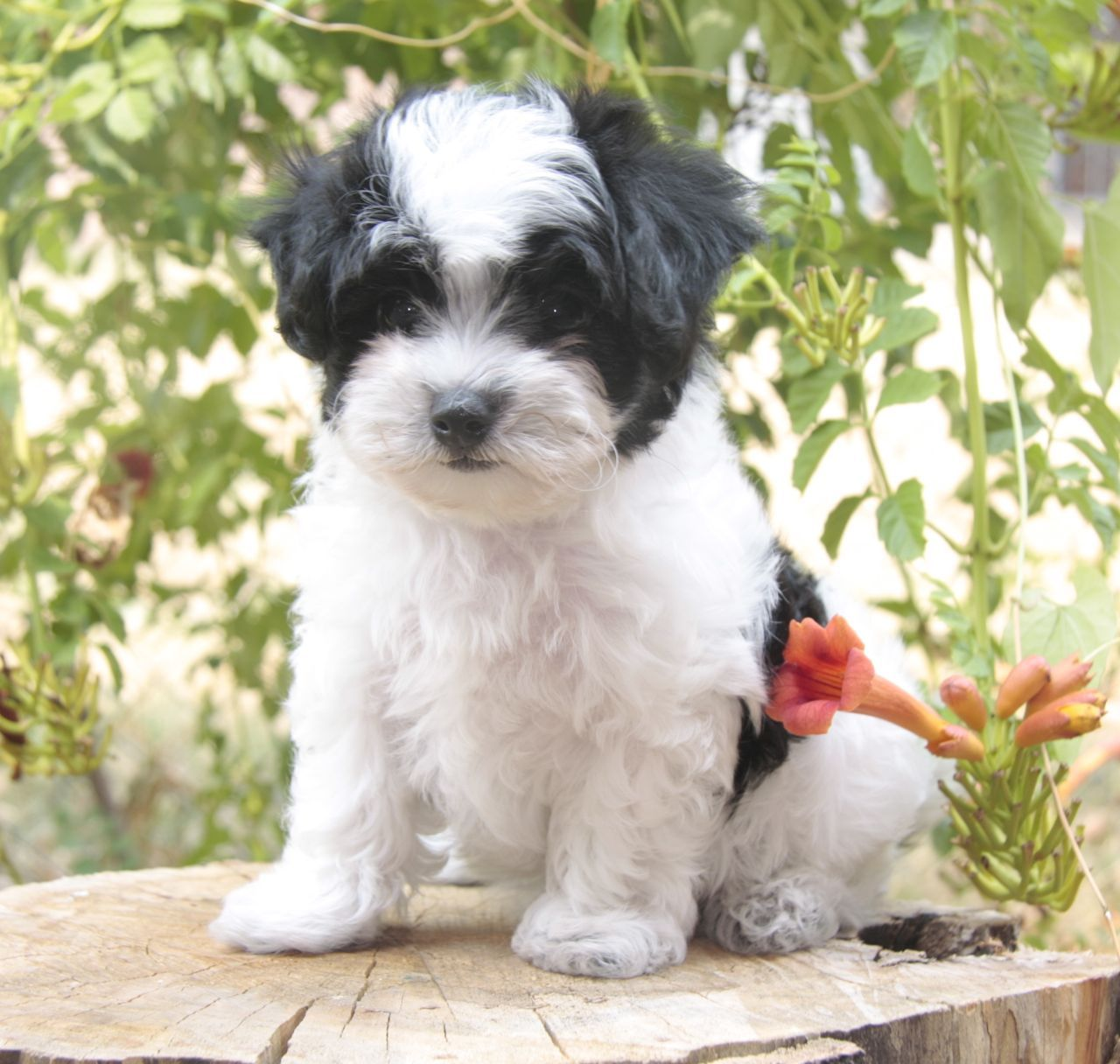 Black And White Maltipoo Maltipoo Dog Maltipoo Puppy Maltipoo