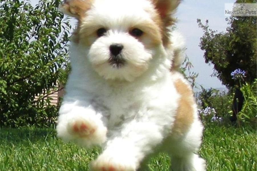 Meet Ss A Cute Havanese Puppy For