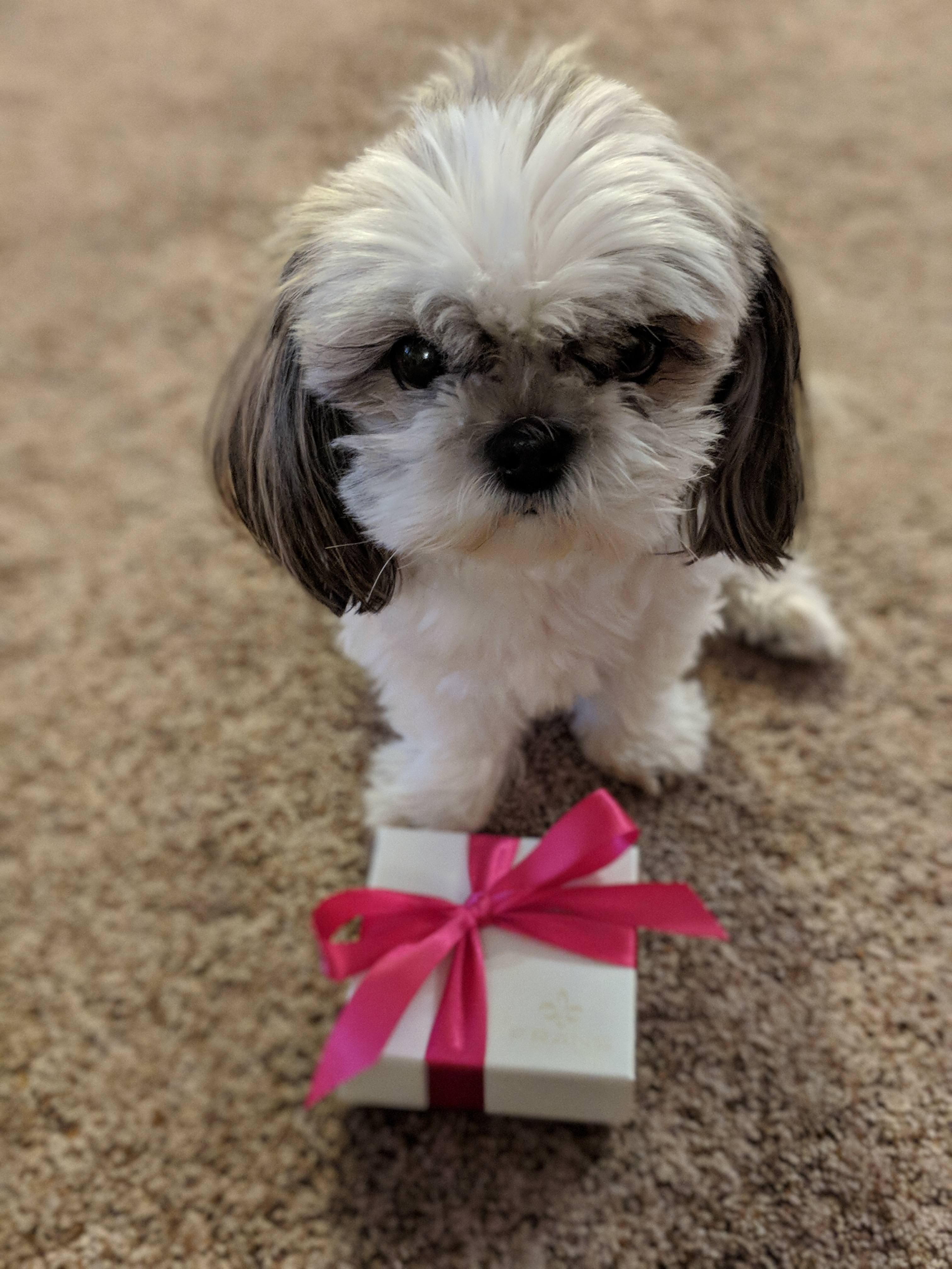 Will you be my Valentine? (xpost /r/Shihtzu) http//ift