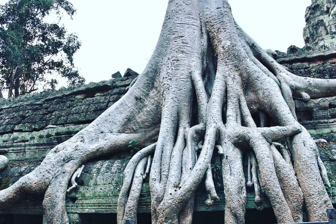 The beautiful tree I live!!!😃 #siemreap #taprohmtemple #angkorwat